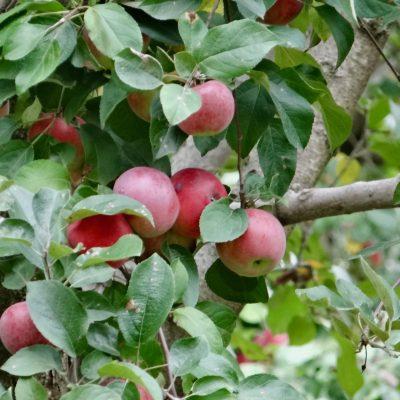 apple pickin' in Vermont